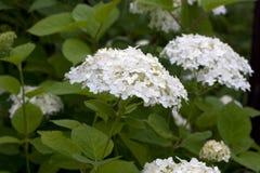 white hortensji Zdjęcie Royalty Free