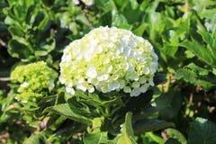 white hortensji zdjęcie stock