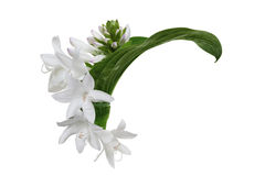 White Hosta Flower Stock Photos