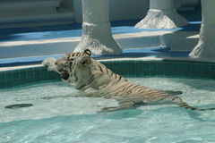 White Hot Tiger. A white tiger seeks to beat the 100-plus-degree heat by cooling down in a pool royalty free stock photo