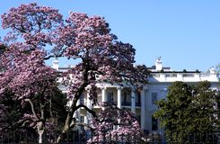White house in spring. White house in time of cherry blossom royalty free stock photo