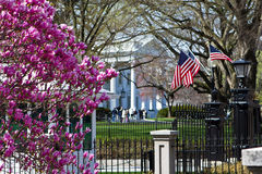 White House in springtime. American flags and magnolia tree in full bloom, springtime in the garden of the White House in Washington DC Stock Images