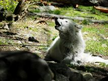 Howling Arctic Wolf. White Howling Arctic Wolf on a patch of grass Stock Images