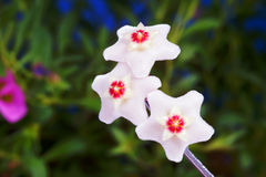 White hoya flowers Royalty Free Stock Images