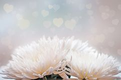 White сhrysanthemum flowers closeup on a light background with hearts pattern and sparkles. Stock Image