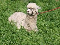 White Huacaya Alpaca Stock Images
