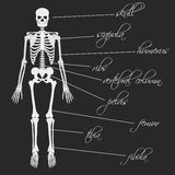 White human bones skeleton with description Royalty Free Stock Image