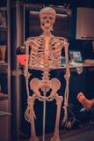 White human skeleton dummy close-up, bone structure royalty free stock images