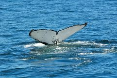 WHITE HUMPIE TAIL. A Humpback whale seen in Walker Bay neer Hermanus, South Africa Stock Photo