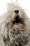 White hungarian puli barking in the  white studio Royalty Free Stock Photos