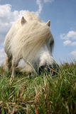 White hungry pony. Cute white pony eating fresh grass royalty free stock images