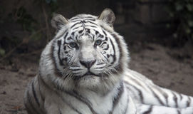 White hungry tiger. Portrait of a beautiful white tiger royalty free stock images
