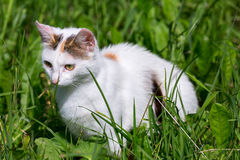 White hunting cat in green grass under sun light Stock Image