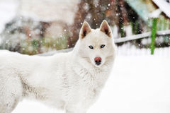 White huskey Stock Images