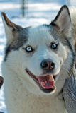 White husky Royalty Free Stock Photography