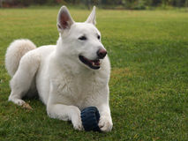 White husky. With toy in paws Royalty Free Stock Images