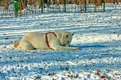 White husky Stock Photography