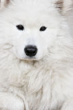 White husky Royalty Free Stock Photos
