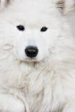 White husky Royalty Free Stock Photos