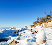 White Husky amid the winter of the  Sea Stock Photography