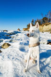White Husky amid the winter Stock Image