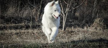 the white husky with blue eyes one royalty free stock photo