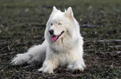 white husky whith beautiful blue eyes resting stock photography