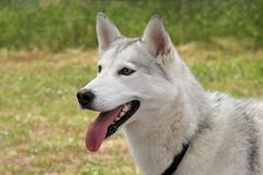 White Husky Dog Stock Image