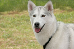White Husky Dog Royalty Free Stock Image