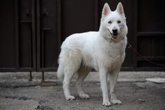 White husky Stock Photo