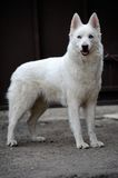 White husky Royalty Free Stock Photo