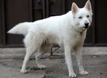 White husky Stock Photography