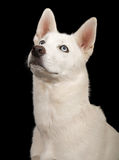 White Husky Dog Close-up Royalty Free Stock Images