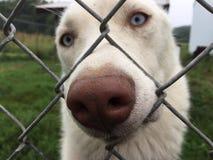 White Husky Stock Photos