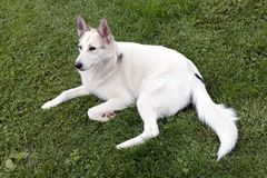 White husky on the grass Stock Photography