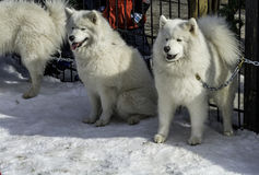 White husky and other dogs on white snow steal the show Stock Image