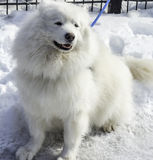 White husky and other dogs on white snow steal the show Royalty Free Stock Images