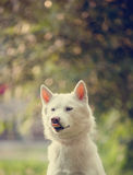 White husky in a park Royalty Free Stock Images
