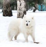 White husky Royalty Free Stock Photo