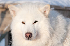White husky portrait Royalty Free Stock Images