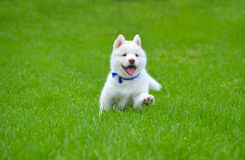 White Husky Puppy Stock Photo