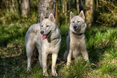 White husky sits in forest Royalty Free Stock Images