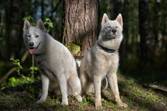 White husky sits in forest Stock Photo