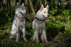 White husky sits in forest Royalty Free Stock Photography