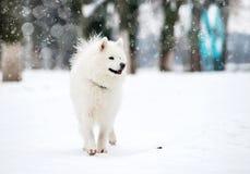 White husky Royalty Free Stock Photography