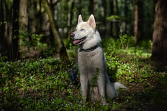 White husky in a spring forest Royalty Free Stock Photography