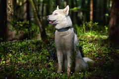 White husky in a spring forest Royalty Free Stock Image