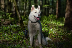 White husky in a spring forest Royalty Free Stock Photos