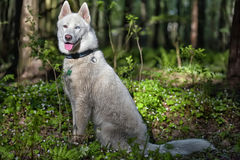 White husky in a spring forest Stock Photography