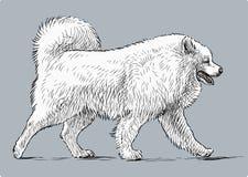 White husky Stock Image